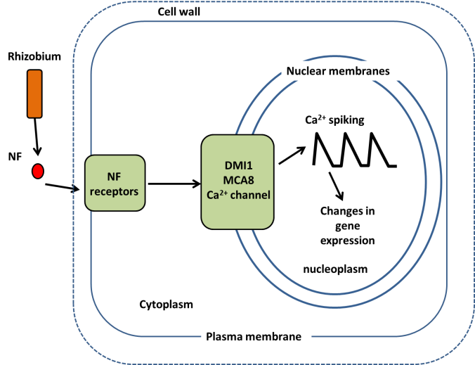 Nod factors produced by rhizobia are detected by receptors on the plasma membrane. A signal relay to the nucleus is activated resulting in the generation of calcium oscillations in the nucleus (calcium spiking). Downstream of calcium spiking changes in gene expression required for the development of nodules and the rhizobial infection into the plant.