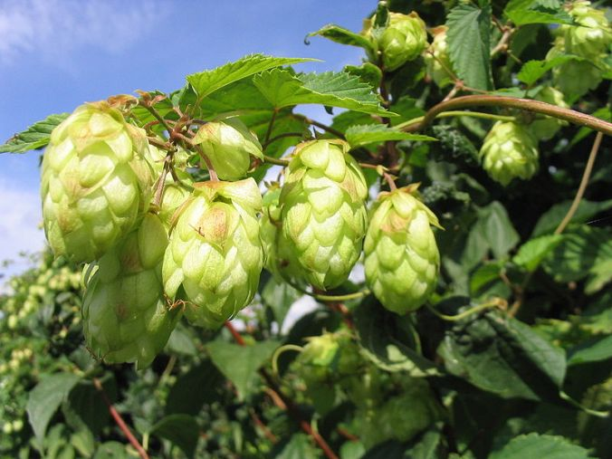 Female flowers (hops) growing on Humulus lupulus. Image by Dr Dr. Hagen Graebner via Wikimedia Commons (CC BY-SA 2.5)