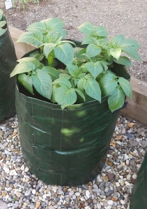 The potatoes survived their move and are now thriving in the bags.